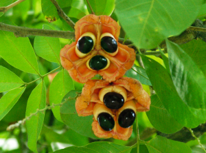 Mature Ackee fruit